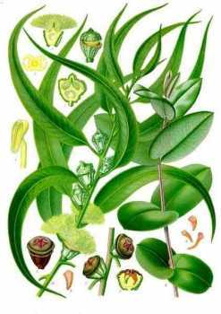 Масло эвкалипта — невероятные лечебные свойства и применение