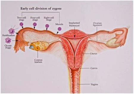 Безопасные дни цикла: календарный метод предохранения от беременности, как рассчитать сроки, чтобы не забеременеть при незащищённом акте