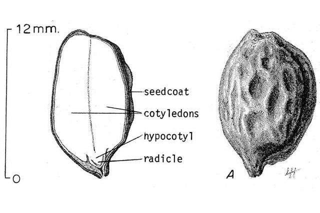 Масло жожоба: свойства и применения в косметологии для кожи, ногтей, отзывы